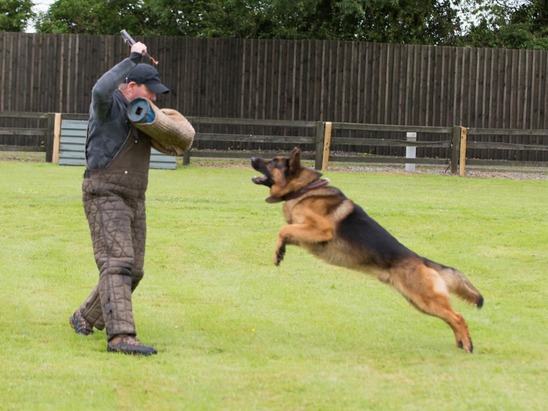 German Shepherd Show Dog Protection Training